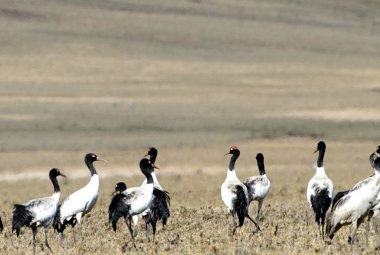 Black necked Crane Festival 11 Days